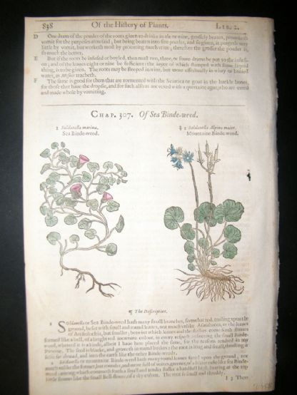 Gerards Herbal 1633 Hand Col Botanical Print. Sea & Mountain Bindweed | Albion Prints